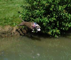 Dog Leaping Into Pond Image