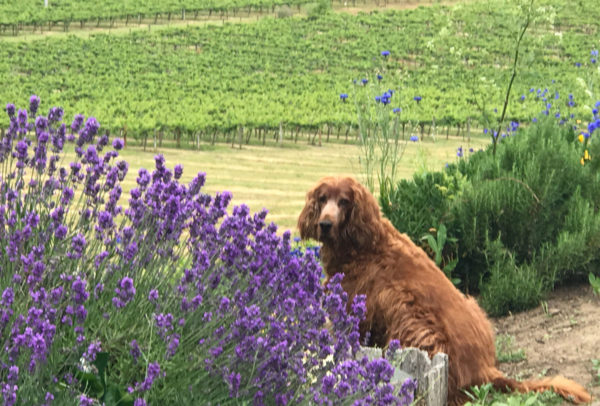 Airlie, dogs and lavender