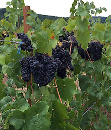 Wine grapes on vine at Airlie Airlie Winery in Monmouth, Oregon